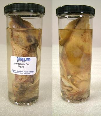 Preserved Specimen Invertebrate Set, Squid