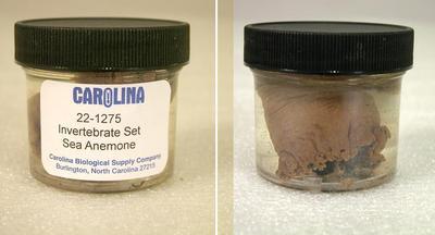 Preserved Specimen Invertebrate Set, Sea Anemone