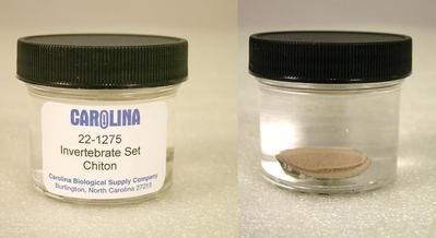 Preserved Specimen Invertebrate Set, Chiton