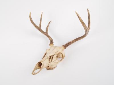 White - Tailed Deer, Skull, Mandible, Antlers