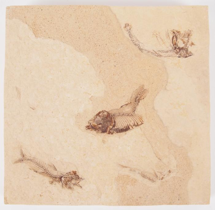 Fossil Fishes