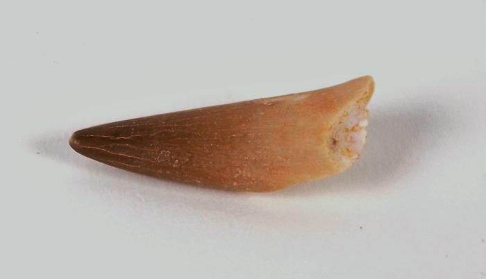 Mosasaur Tooth (partial)