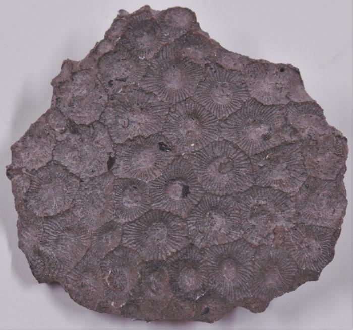 Hexagonaria coral