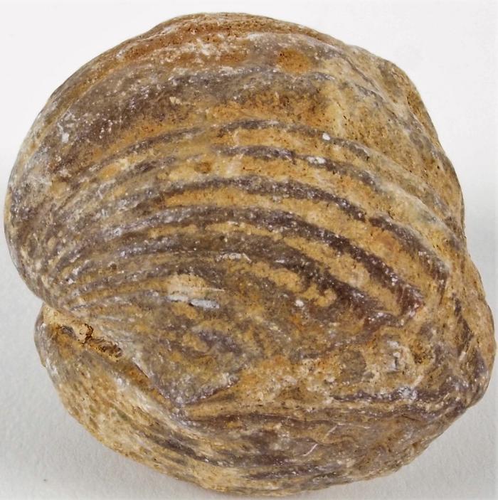 Platystrophia brachiopod