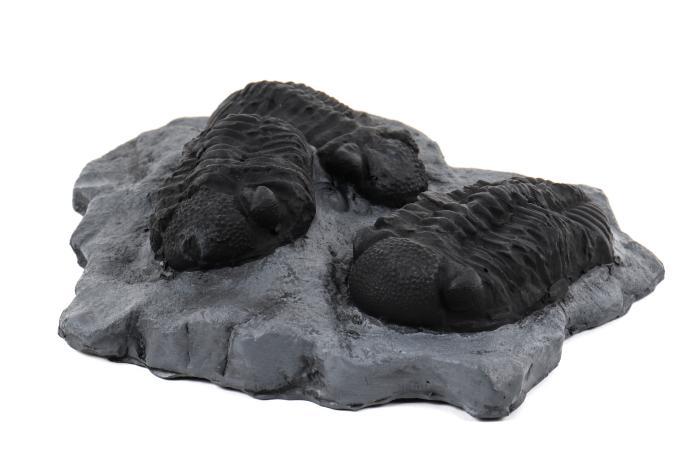 Phacops Trilobites, cast
