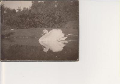 Photograph, Swan