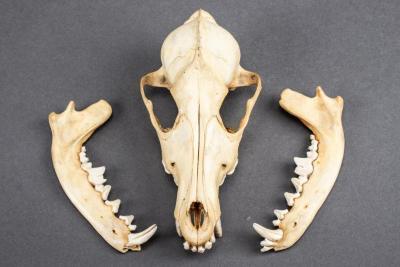 Coyote, Skull and Mandible