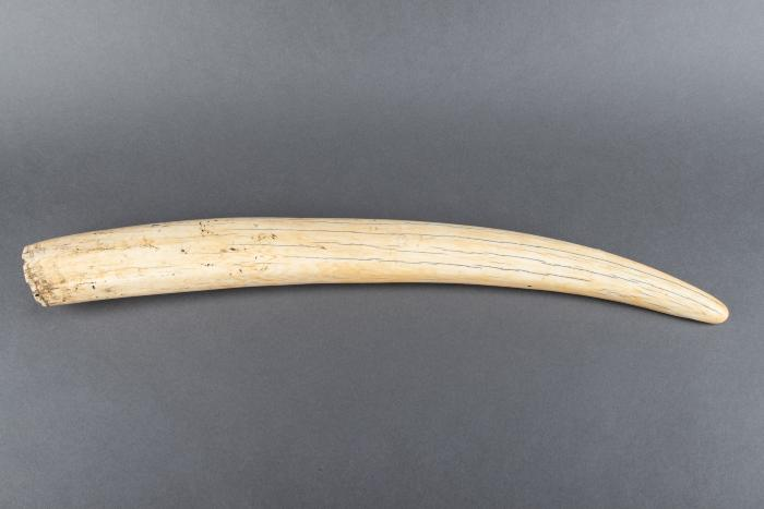 Walrus Tusk