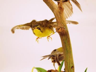 Kentucky Warbler (mount)