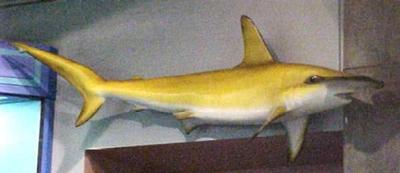 Smooth Hammerhead Shark (mount)