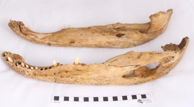 Alligator, partial skeleton