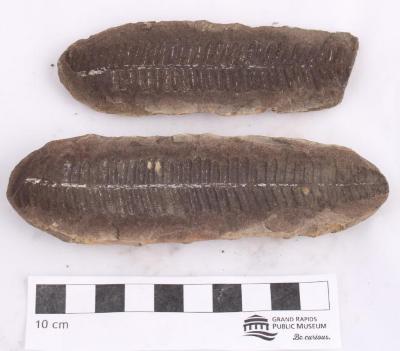 Lobatopteris lamuriana