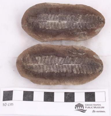 Pecopteris subcrenulata