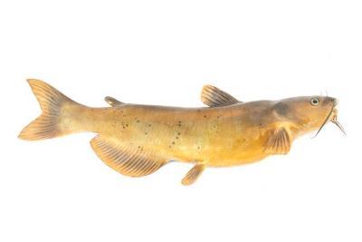 Channel catfish (Mount)