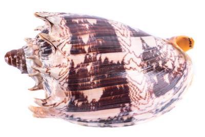 Mollusk Shell, Cymatium Lotorium