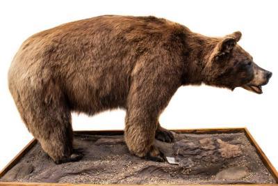 Black Bear (mount)