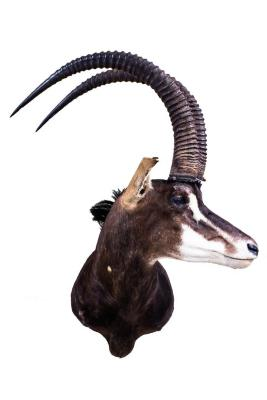 Sable Antelope (Shoulder Mount)