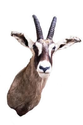 Roan Antelope (Shoulder Mount)