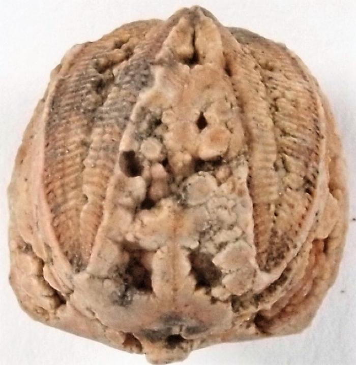 Blastoid head