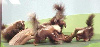 Skunks (4)