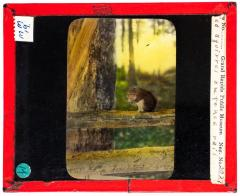 Lantern Slide, Red Squirrel on Fence