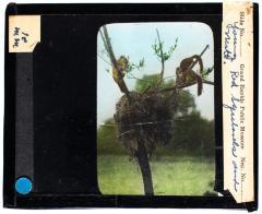Lantern Slide, Red Squirrel Nest