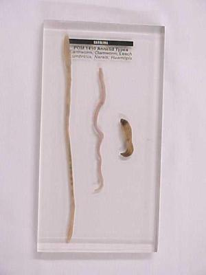 Annelid Types, Earthworm, Clamworm, Leech