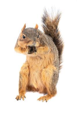 Eastern Fox Squirrel (mount)