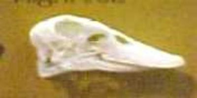Duck Skull Anas ( Domesticus ?)
