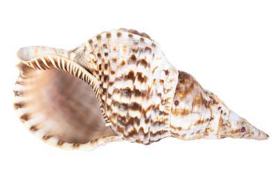 Mollusk Shell, Charonia Variegata