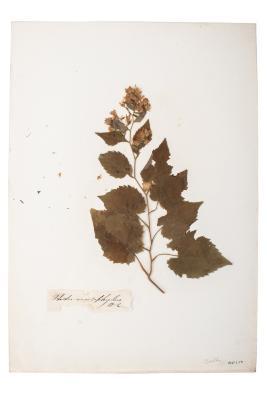 Big Leaf Aster (pressed)