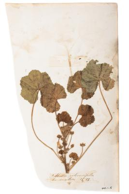 Low Mallow (pressed)