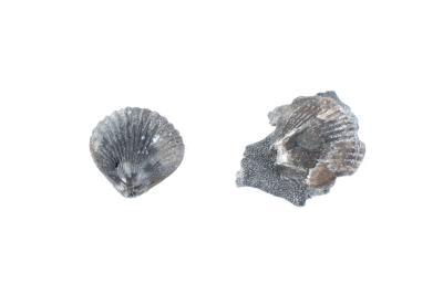 Atrypa ehlersi (2 Specimens)