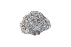 Carinatina dysmorphostra