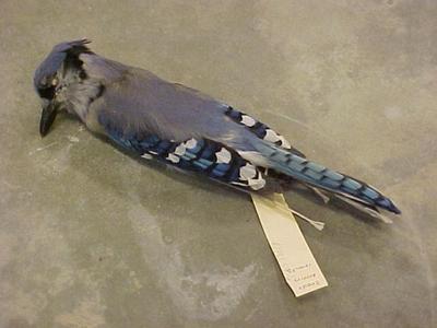 Study Skin, Blue Jay, Non-toxic