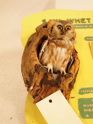 Northern Saw Whet Owl (mount)