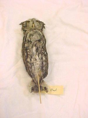 Study Skin, Screech Owl, Non-toxic