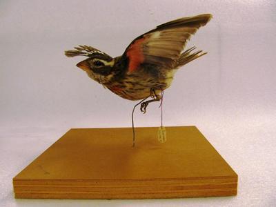 Rose-breasted Grossbeak (mount)