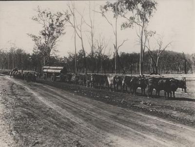 Photograph, Australian Cattle Hauling Logs