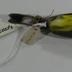 Magnolia Warbler, Immature (dendroica Magnolia), Study Skin