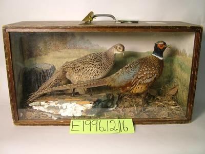 Pheasant, School Loan Collection