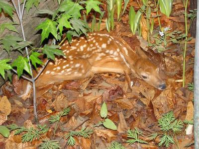 Specimen Mount, 'white-tailed Deer Fawn'