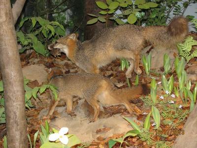 Specimen Mount, 'gray Fox Kit'
