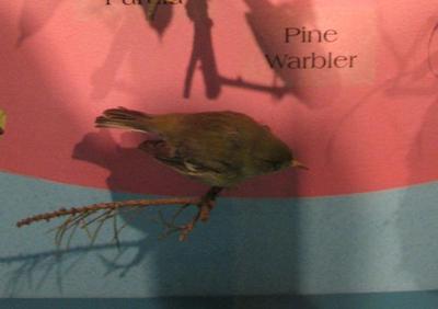 Pine Warbler, Mount
