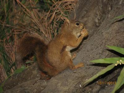 Squirrel, Red, School Loan Collection