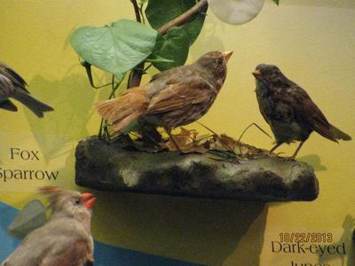 Fox Sparrow, Female And Male, Bird Skins, Mount