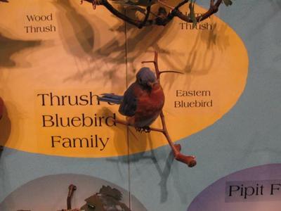 Eastern Bluebird, School Loan Collection, Mount