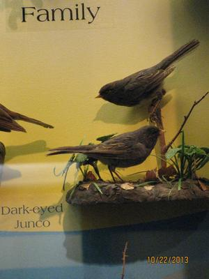 Dark-eyed Junco, Female, Mount
