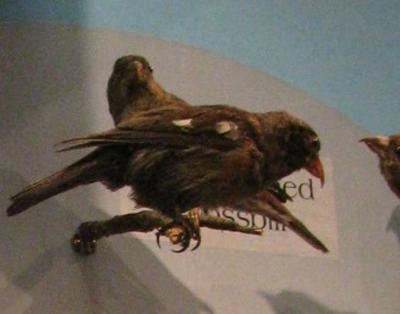 White - Winged Crossbill, Female, Mount