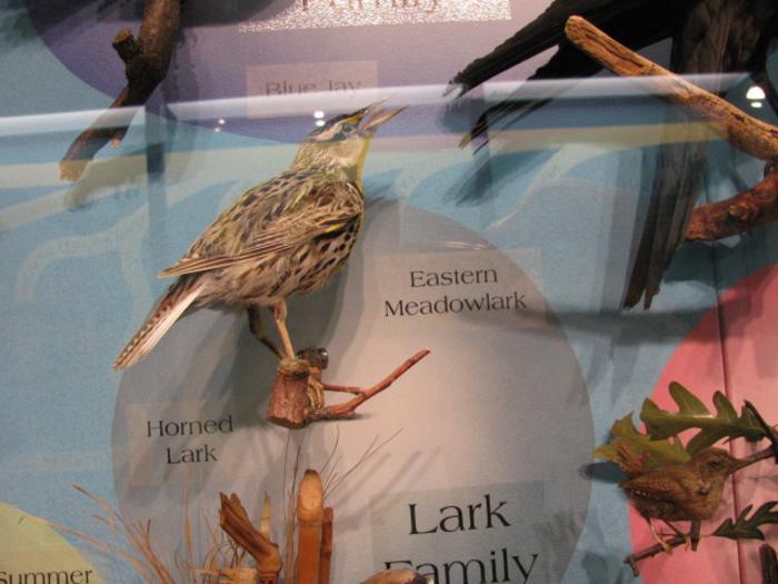 Eastern Meadowlark, School Loan Collection, Mount